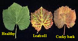 Healthy and virus infected leaves