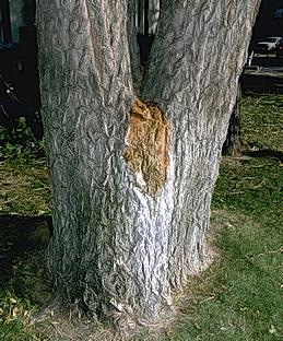 Bacterial wetwood infection