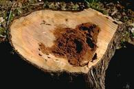 Heart rot in a conifer trunk.