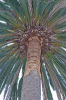 "For Canary Island date palms, prime candidates for sudden crown drop have sculpted ""pineapples"" or, especially, ""skinned"" or ""peeled"" trunks below the leaves where the surface appears smooth and devoid of elliptic leaf base scars."