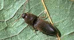 Click beetle (wireworm adult)