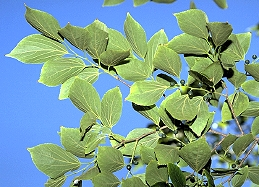 Hackberry foliage