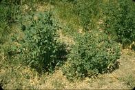 The small, stunted blue green plant at the right is infected with alfalfa dwarf.