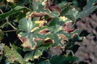 Foliage symptoms of black measles.