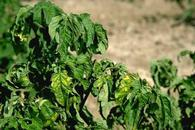 Upper leaves of plants infected by tomato bushy stunt virus are yellow and curled.