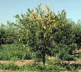 Almond tree affected by Verticillium wilt