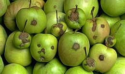 Scabby spots on apples