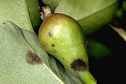 Fruit and leaf spots of pear scab