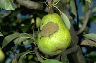 Fruit damaged by pear scab.
