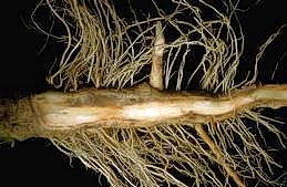 Vascular discoloration of pepper roots