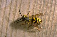 Yellowjackets are thick waisted with jagged, bright yellow stripes.