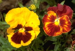Yellow and orange blossoms of pansy