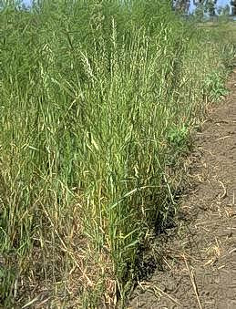 Weedy areas can lead to weak or thin spears