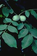 Foliage development showing mature leaves with immature nuts.