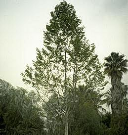 California sycamore