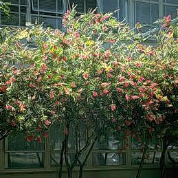 Flowering bottlebrush