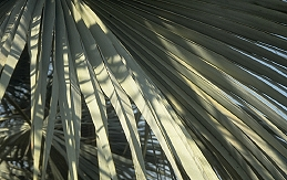 foliage of Mexican blue palm