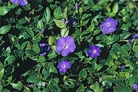 Big periwinkle, Vinca major, foliage and flowers.