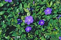 Big periwinkle, Vinca major.