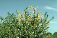 Verticillium wilt causes foliage on one or more branches to turn yellow and die.