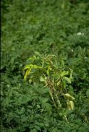 Leaves of potato plants affected by Verticillium wilt turn yellow.