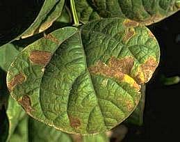 Sunscald on bean leaf