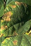 Scalded bean leaf