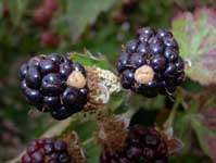 A tan-to-white discoloration of individual drupelets on a berry is a condition known as white Drupelet.