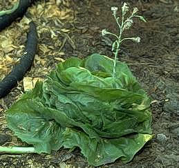 Bolting of lettuce plant