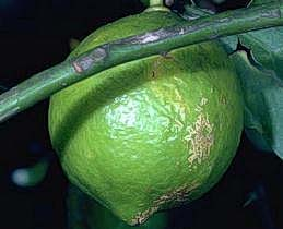 Wind injury to citrus fruit