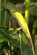 Burned corn leaf