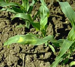 Corn damaged by frost