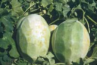 Discoloration found in the flesh of peeled melon fruit is a symptom of measles, an abiotic disorder caused by soil wetness.