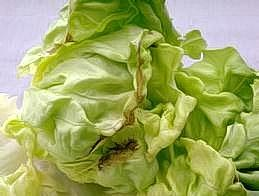 Tipburn of butter lettuce