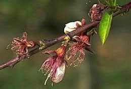 Frost injury to nectarine blossoms