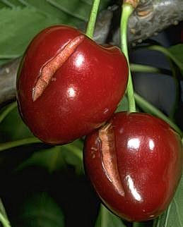 Cracking of mature fruit