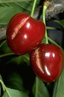 Rain damage to cherry fruit