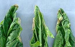 Browning of spinach leaf tips