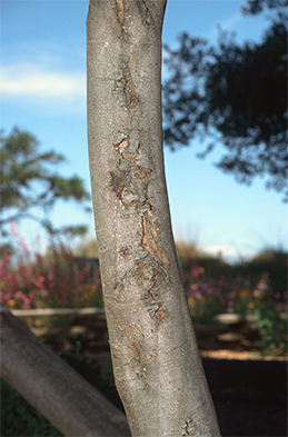 Sunburned southwest side of a trunk
