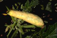 Watermelon mosaic virus symptoms on yellow squash.