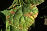 Sunscald symptoms on a bean leaf.