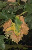 Advanced late summer or fall symptoms of Pierce's disease on foliage of a white grape variety.