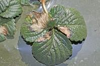 Tan discoloration of strawberry foliage caused by the leaf blotch pathogen, Zythia fragariae.