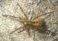 Mature adults of Zoropsis spinimana are long-legged spiders with bodies about 1/2 to 5/8 inch long and leg span of 1 to 1 1/4 inch. A female is shown here.
