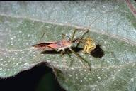 Adult assassin bug attacking a lygus bug.