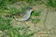 Figure 1. Adult white-crowned sparrow, Zonotrichia leucophrys.