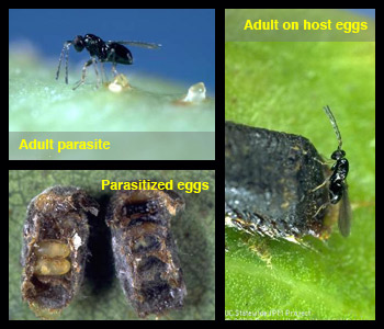 Life stages of Anaphes spp.