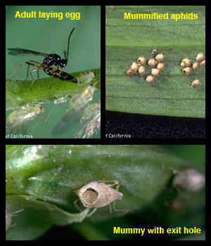 Life stages of aphidius spp.
