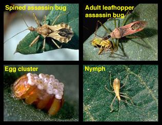Life stages of assassin bugs