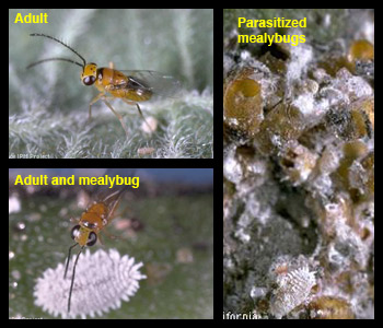 Life stages of citrus mealybug parasite